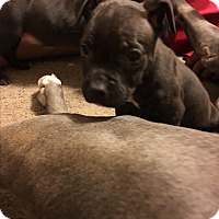 Terrier (Unknown Type, Medium) Mix Puppy for adoption in Garner, North Carolina - Eros