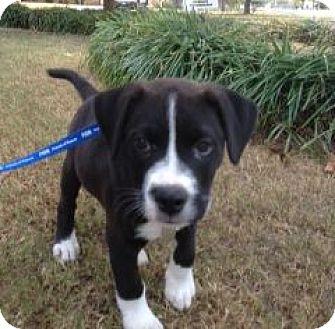 Labrador Retriever/American Bulldog Mix Puppy for adoption in Huntsville, Alabama - Champion