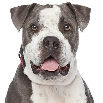 American Bulldog/American Staffordshire Terrier Mix Dog for adoption in Los Angeles, California - Soldier