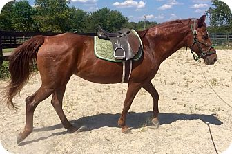 Gaited Mix for adoption in Nicholasville, Kentucky - Faith