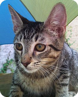 Domestic Shorthair Kitten for adoption in Brooklyn, New York - Xena