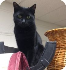 Domestic Shorthair Cat for adoption in Webster, Massachusetts - Birdie