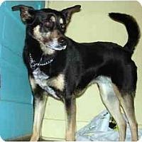 Adopt A Pet :: Samantha - New Kensington, PA