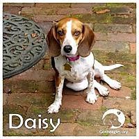 Adopt A Pet :: Daisy - Novi, MI