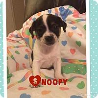 Adopt A Pet :: Snoopy - Brea, CA