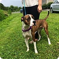 Pit Bull Terrier Mix Dog for adoption in Lewisburg, West Virginia - Sadie