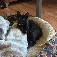 Domestic Shorthair Kitten for adoption in Palmyra, New Jersey - Jingles