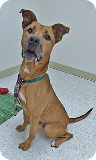 Boxer/Great Dane Mix Dog for adoption in Chambersburg, Pennsylvania - Tate