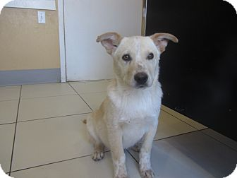 Labrador Retriever/Australian Cattle Dog Mix Puppy for adoption in Ridgway, Colorado - Poncho