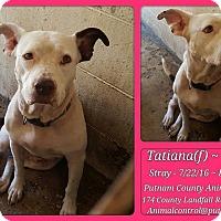 American Bulldog Mix Dog for adoption in Jacksonville, Florida - Tatiana