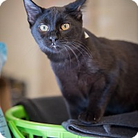 Adopt A Pet :: Cat Man - Madionsville, KY