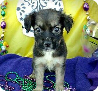 Blue Heeler/German Shepherd Dog Mix Puppy for adoption in Des Moines, Iowa - Bayou