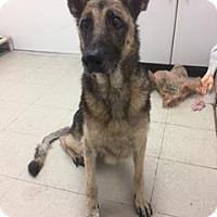Adopt A Pet :: Kola - K - Binghamton, NY