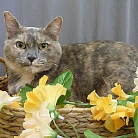 Calico Cat for adoption in Pasadena, Texas - Tessa