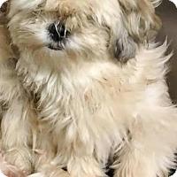Shih Tzu Mix Dog for adoption in Alpharetta, Georgia - Glorie