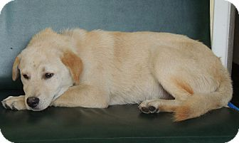 Labrador Retriever Mix Dog for adoption in Houston, Texas - Ben