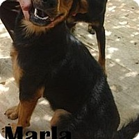 German Shepherd Dog/Bloodhound Mix Dog for adoption in Miami, Florida - Marla