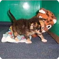 Adopt A Pet :: Baby Calico - Secaucus, NJ