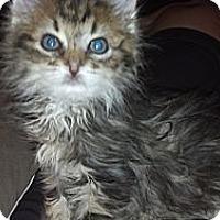 Adopt A Pet :: Portia - Sterling Hgts, MI