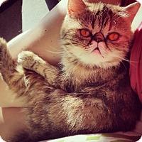 Adopt A Pet :: Eva - Beverly Hills, CA