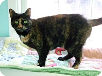 Domestic Shorthair Cat for adoption in Fairfax, Virginia - Sadie