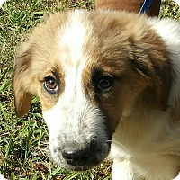 Adopt A Pet :: Zizzie - Spring Valley, NY