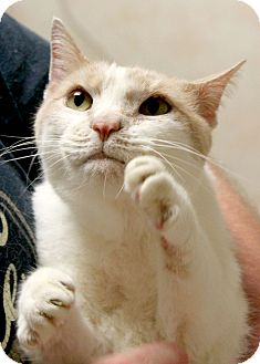 Domestic Shorthair Cat for adoption in Montclair, New Jersey - Harold