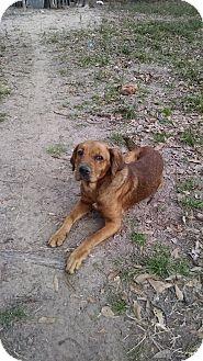 Labrador Retriever/Hound (Unknown Type) Mix Dog for adoption in Houston, Texas - Luke