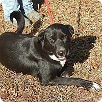Border Collie/Labrador Retriever Mix Dog for adoption in Yardley, Pennsylvania - Whitney B Lower fee