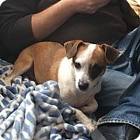 Adopt A Pet :: Amy - Millersville, MD