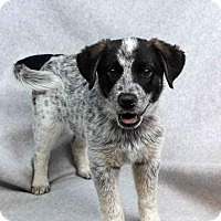 Adopt A Pet :: Yotti - Westminster, CO