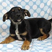 Adopt A Pet :: AARON - Westminster, CO