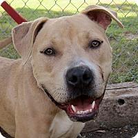 Adopt A Pet :: Apollo - Georgetown, TX