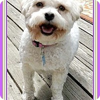 Adopt A Pet :: Lulu - Seattle, WA
