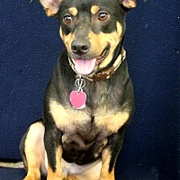 Corgi Mix Dog for adoption in Wichita, Kansas - Oliver