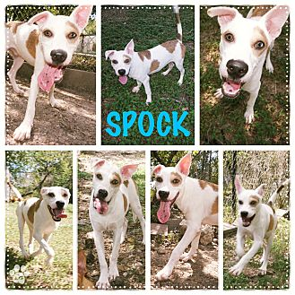 Labrador Retriever/Pointer Mix Puppy for adoption in Converse, Texas - Spock