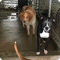 Adopt A Pet :: Milo - El Centro, CA