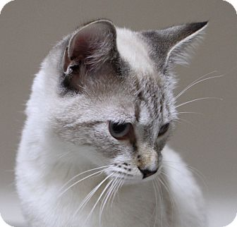 Siamese Cat for adoption in Midvale, Utah - Daphne