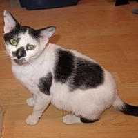 Domestic Shorthair Cat for adoption in Fort Lauderdale, Florida - Katniss