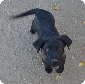 Labrador Retriever Mix Puppy for adoption in Peyton, Colorado - Tasha