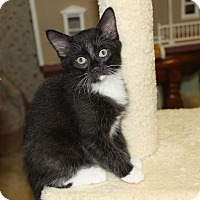 Domestic Mediumhair Kitten for adoption in Youngsville, North Carolina - Abby