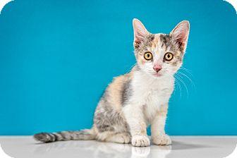 Calico Kitten for adoption in Chandler, Arizona - Nutmeg