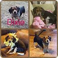Adopt A Pet :: Dixie - Oxford, CT