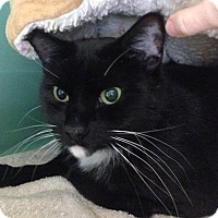 Adopt A Pet :: Ninja - Franklin, NH