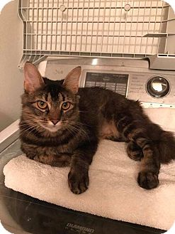 Domestic Mediumhair Cat for adoption in Mansfield, Texas - Fluffy