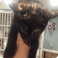 Domestic Mediumhair Cat for adoption in Baltimore, Maryland - Mary (Little House on the Prairie)