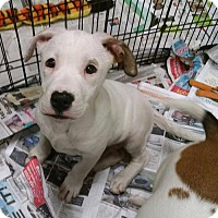 Adopt A Pet :: Favre - Ringoes, NJ