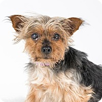Yorkie, Yorkshire Terrier Dog for adoption in St. Louis Park, Minnesota - Keegan