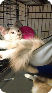 Domestic Longhair Kitten for adoption in Glen cove, New York - Penelope