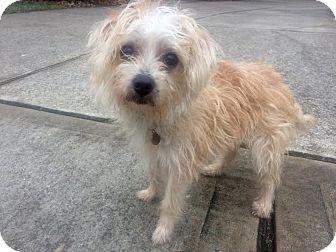 Miniature Poodle Rescue Connecticut